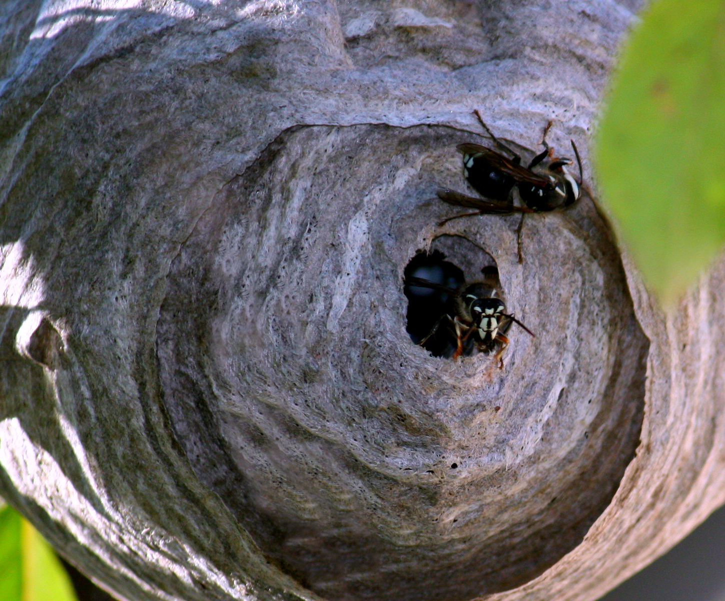 Busy Bald Faced Hornets