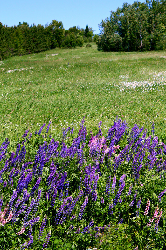 The Lupin Field